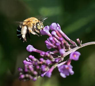 Blue-banded bee,female_8486