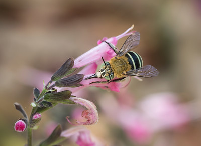 Blue-banded bee - 5390