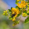 Great Carpenter bee_Xylocopa aruana_1675