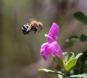 Blue-banded bee, male - 0083