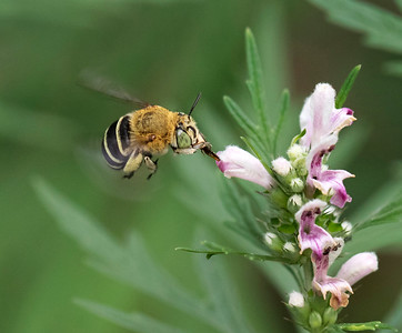Blue-banded bee,female - 1115