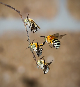 Blue-banded bees, males_7076