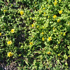 Latin name Melanthera integrifolia<br /> Other Latin name: Lipochaeta integrifolia<br /> Family: Asteraceae (daisy)<br /> Hawaiian name: Nehe