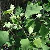 Latin name: Chenopodium oahuense<br /> Family: Amaranthaceae (amaranth)<br /> Hawaiian name: 'aweoweo