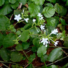Latin name: Plumbago zeylanica <br /> Family: Plumbaginaceae (plumbago)<br /> Hawaiian name: 'ilie'e