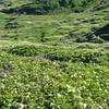 Latin name: Osteomeles anthyllidifolia<br /> Family: Rosaceae (rose)<br /> Hawaiian name: 'ulei