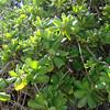 Latin name: Scaevola taccada<br /> Family: Goodeniaceae<br /> Hawaiian name:  Naupaka kahakai