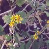 Latin name: Lipochaeta rockii<br /> Family: Asteraceae (daisy)<br /> Hawaiian name: nehe
