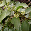 Latin name: Santalum ellipticum<br /> Family: Santalaceae <br /> Hawaiian Name: 'iliahialo'e <br /> English name: coast sandalwood<br /> (the positions of the 'okina vary in online references. I've used an online snippet of a book by Marie McDonald)