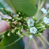 Latin name: Rauvolfia sandwicensis <br /> Family: Apocynaceae (dogbane)<br /> Hawaiian name: hao