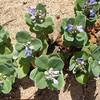 Latin name: Vitex rotundifolia<br /> Family: Lamiaceae<br /> Hawaiian name:  pōhinahina, kolokolo-kahakai