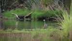 White Faced Heron 1