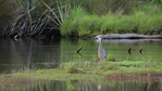 White Faced Heron 2