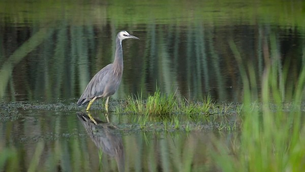 White Faced Heron 3