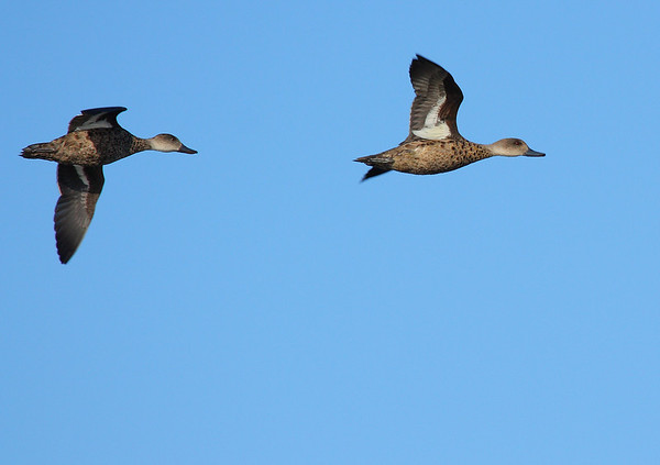 Pair of in flight Grey Teal