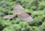 Bush Falcon in flight NR