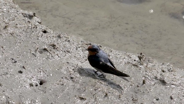 Welcome Swallow 1
