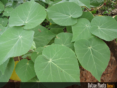 Native Plants Hawaii-1