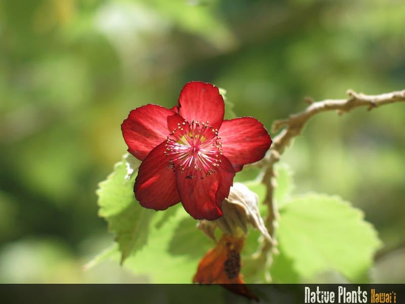 Genus: Abutilon<br /> Species: menziesii<br /> Setting: Landscape<br /> Location (Island): Oahu<br /> Location: Pearl City<br /> Subject Composition: Flowers<br /> Creation Date: 2003.09.03<br /> Photo Courtesy of: David Eickhoff<br /> Copyright Retained by: David Eickhoff