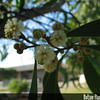 Genus: Acacia<br /> Species: koa<br /> Setting: Landscape<br /> Location (Island): Oahu<br /> Location: Leeward Community College<br /> Subject Composition: Flowers<br /> Creation Date: 2008.03.10<br /> Photo Courtesy of: David Eickhoff<br /> Copyright Retained by: David Eickhoff
