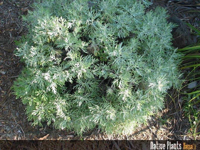 Genus: Artemisia<br /> Species: australis<br /> Setting: Landscape<br /> Location (Island): Oahu<br /> Location: Waimea Valley Audubon Center<br /> Subject Composition: Full View (Habit)<br /> Creation Date: 2008.01.30<br /> Photo Courtesy of: David Eickhoff<br /> Copyright Retained by: David Eickhoff