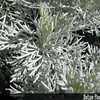 Genus: Artemisia<br /> Species: mauiensis<br /> Setting: Natural Habitat<br /> Location (Island): Maui<br /> Location: Haleakala National Park<br /> Subject Composition: Leaves<br /> Creation Date: 2003.10.01<br /> Photo Courtesy of: Forest & Kim Starr<br /> Copyright Retained by: Forest & Kim Starr
