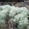 Genus: Artemisia<br /> Species: mauiensis<br /> Setting: Landscape<br /> Location (Island): Maui<br /> Location: Kula<br /> Subject Composition: Full View<br /> NPH Photo Assignment: Full View<br /> Creation Date: 2003<br /> Photo Courtesy of: Ethan Romanchak<br /> Copyright Retained by: Ethan Romanchak