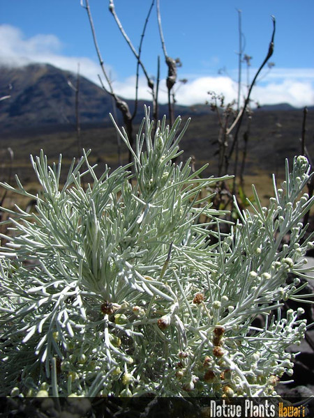 Genus: Artemisia<br /> Species: mauiensis<br /> Setting: Natural Habitat<br /> Location (Island): Maui<br /> Location: Haleakala National Park<br /> Subject Composition: Full View<br /> NPH Photo Assignment: Closeup<br /> Creation Date: 2008.10.14<br /> Photo Courtesy of: Forest & Kim Starr<br /> Copyright Retained by: Forest & Kim Starr