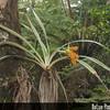 Genus: Astelia<br /> Species: menziesiana<br /> Setting: Natural Habitat<br /> Location (Island): Hawaii<br /> Location: Pu'u Maka'ala<br /> Creation Date: 2009.12.08<br /> Photo Courtesy of: Mark Wasser<br /> Copyright Retained by: Mark Wasser