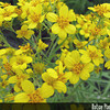 Genus: Bidens<br /> Species: menziesii<br /> Subspecies: filiformis<br /> Setting: Landscape<br /> Location (Island): Oahu<br /> Location: Hui Ku Maoli Ola<br /> Subject Composition: Flowers<br /> Creation Date: 2008.10.03<br /> Photo Courtesy of: David Eickhoff<br /> Copyright Retained by: David Eickhoff