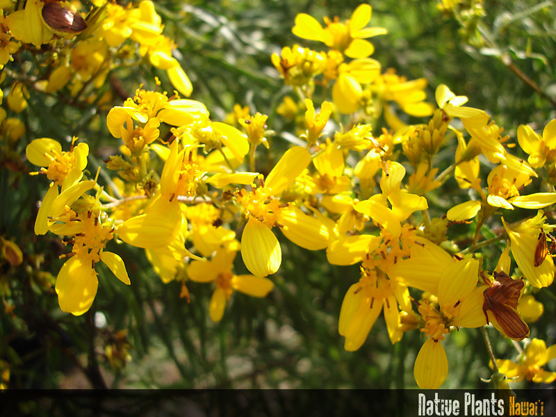 Genus: Bidens<br /> Species: menziesii<br /> Subspecies: filiformis<br /> Setting: Landscape<br /> Location (Island): Oahu<br /> Location: Hui Ku Maoli Ola<br /> Subject Composition: Flowers<br /> Creation Date: 2007.02.05<br /> Photo Courtesy of: Rick Barboza<br /> Copyright Retained by: Rick Barboza