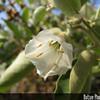 Genus: Bonamia<br /> Species: menziesii<br /> Setting: Landscape<br /> Location (Island): Oahu<br /> Location: Leeward Community College<br /> Subject Composition: Flower<br /> Creation Date: 2008.11.30<br /> Photo Courtesy of: David Eickhoff<br /> Copyright Retained by: David Eickhoff