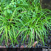 Genus: Carex<br /> Species: wahuensis<br /> Subspecies: wahuensis<br /> Varieties:<br /> Form:<br /> Setting: Landscape<br /> Location (Island): Oahu<br /> Location: Waimea VAC<br /> Subject Composition: Landscape (Native)<br /> NPH Photo Assignment: Closeup<br /> Creation Date: 2008.01.30<br /> Photo Courtesy of: David Eickhoff<br /> Copyright Retained by: David Eickhoff