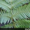Genus: Cibotium<br /> Species: glaucum<br /> Setting: Landscape<br /> Location (Island): Oahu<br /> Location: Waimea Valley Audubon Center<br /> Subject Composition: Fronds<br /> NPH Photo Assignment: Feature<br /> Creation Date: 2006.04.02<br /> Photo Courtesy of: David Eickhoff<br /> Copyright Retained by: David Eickhoff