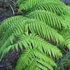 Genus: Cibotium<br /> Species: glaucum<br /> Setting: Landscape<br /> Location (Island): Oahu<br /> Location: Waimea Valley Audubon Center<br /> Subject Composition: Fronds<br /> NPH Photo Assignment: Closeup<br /> Creation Date: 2006.05.31<br /> Photo Courtesy of: David Eickhoff<br /> Copyright Retained by: David Eickhoff