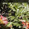 Genus: Diospyros<br /> Species: sandwicensis<br /> Subject Composition: Leaves<br /> Creation Date: 2004.05.16<br /> Photo Courtesy of: Priscilla Millen<br /> Copyright Retained by: Priscilla Millen