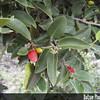 Genus: Diospyros<br /> Species: sandwicensis<br /> Subject Composition: Fruits; Leaves<br /> Creation Date: 2004.10.01<br /> Photo Courtesy of: Priscilla Millen<br /> Copyright Retained by: Priscilla Millen