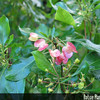 Genus: Dodonaea<br /> Species: viscosa<br /> Setting: Landscape<br /> Location (Island): Oahu<br /> Location: Waimea Valley Audubon Center<br /> Subject Composition: Flower; Fruit<br /> Creation Date: 2008.01.30<br /> Photo Courtesy of: David Eickhoff<br /> Copyright Retained by: David Eickhoff<br /> Notes: Pistillate (female) flowers
