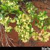 Genus: Dodonaea<br /> Species: viscosa<br /> Setting: Natural Habitat<br /> Location (Island): Lanai<br /> Location: Kanepuu<br /> Subject Composition: Fruit<br /> Creation Date: 2005.05.27<br /> Photo Courtesy of: David Eickhoff<br /> Copyright Retained by: David Eickhoff