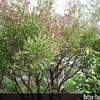 Genus: Dodonaea<br /> Species: viscosa<br /> Setting: Landscape<br /> Location (Island): Maui<br /> Location: Lavender Farm<br /> Subject Composition: Full View (Habit)<br /> Creation Date: 2008.05.27 <br /> Photo Courtesy of: David Eickhoff<br /> Copyright Retained by: David Eickhoff