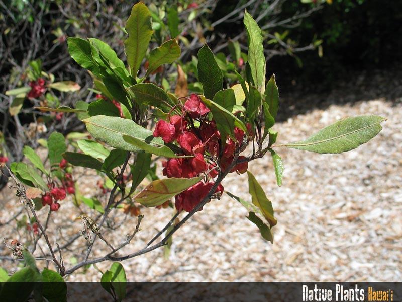 Genus: Dodonaea<br /> Species: viscosa<br /> Setting: Landscape<br /> Location (Island): Oahu<br /> Location: Liliuokalani Botanical Garden<br /> Subject Composition: Fruit<br /> Creation Date: 2005.05.27 <br /> Photo Courtesy of: David Eickhoff<br /> Copyright Retained by: David Eickhoff