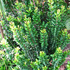 Genus: Eugenia<br /> Species: koolauensis<br /> Setting: Landscape<br /> Location (Island): Oahu<br /> Location: Pearl City<br /> Subject Composition: Full View (Habit)<br /> Creation Date: 2009.05.18<br /> Photo Courtesy of: David Eickhoff<br /> Copyright Retained by: David Eickhoff<br /> Notes: This is still a young tree at about 7 feet tall, but can grow to over 20 feet.