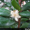 Genus: Eugenia<br /> Species: koolauensis<br /> Setting: Landscape<br /> Location (Island): Oahu<br /> Location: Pearl City<br /> Subject Composition: Flower; Leaves<br /> Creation Date: 2009.03.15<br /> Photo Courtesy of: David Eickhoff<br /> Copyright Retained by: David Eickhoff