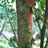 Genus: Eugenia<br /> Species: koolauensis<br /> Setting: Landscape<br /> Location (Island): Oahu<br /> Location: Waimea Valley Audubon Center<br /> Subject Composition: Trunk<br /> Creation Date: 2007.02.23<br /> Photo Courtesy of: David Eickhoff<br /> Copyright Retained by: David Eickhoff
