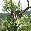 Genus: Freycinetia<br /> Species: arborea<br /> Setting: Natural Habitat<br /> Location (Island): Oahu<br /> Location: Aiea Ridge Trail<br /> Subject Composition: Fruit; Leaves; Stems<br /> Creation Date: 2003.07.21<br /> Photo Courtesy of: David Eickhoff<br /> Copyright Retained by: David Eickhoff<br /> Notes: Male plant flowering on a ridge habitat.