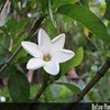 Genus: Gardenia<br /> Species: brighamii<br /> Setting: Landscape<br /> Location (Island): Oahu<br /> Location: Leeward Community College<br /> Subject Composition: Flower<br /> Creation Date: 2008.10.01 <br /> Photo Courtesy of: David Eickhoff<br /> Copyright Retained by: David Eickhoff