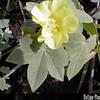 Genus: Gossypium<br /> Species: tomentosum<br /> Subject Composition: Flower; Leaves<br /> Creation Date: 2000.01.01<br /> Photo Courtesy of: Priscilla Millen<br /> Copyright Retained by: Priscilla Millen