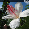 Genus: Hibiscus<br /> Species: waimeae<br /> Subspecies: waimeae<br /> Setting: Landscape<br /> Location (Island): Oahu<br /> Location: Pearl City<br /> Subject Composition: Flower<br /> Creation Date: 2005.01.23 <br /> Photo Courtesy of: David Eickhoff<br /> Copyright Retained by: David Eickhoff