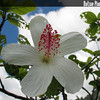 Genus: Hibiscus<br /> Species: waimeae<br /> Subspecies: waimeae<br /> Setting: Landscape<br /> Location (Island): Oahu<br /> Location: Hoomaluhia Botanical Garden<br /> Subject Composition: Flower<br /> Creation Date: 2008.07.17 <br /> Photo Courtesy of: David Eickhoff<br /> Copyright Retained by: David Eickhoff