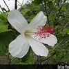 Genus: Hibiscus<br /> Species: waimeae<br /> Subspecies: waimeae<br /> Setting: Landscape<br /> Location (Island): Oahu<br /> Location: Hoomaluhia Botanical Garden<br /> Subject Composition: Flower<br /> NPH Photo Assignment: Feature<br /> Creation Date: 2008.07.17 <br /> Photo Courtesy of: David Eickhoff<br /> Copyright Retained by: David Eickhoff